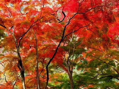 箕面の紅葉(一目千本)
