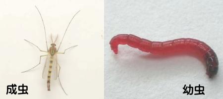ユスリカの成虫と幼虫